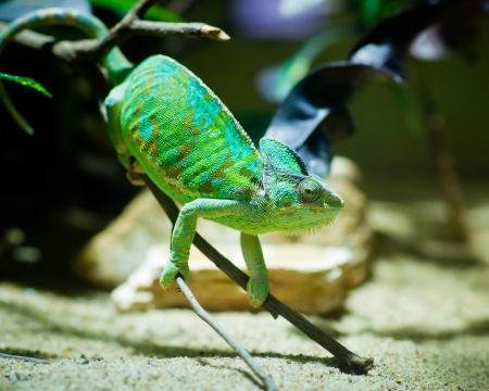 tenacious: Green chameleon sitting on a branch in a terrarium