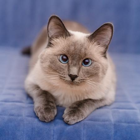 かわいい colorpoint の青目の猫青いソファに横になっていると、カメラを見て