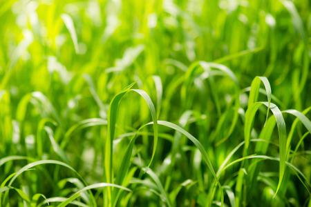 luz natural: Hierba verde brillante en el campo de verano en un d�a soleado. La luz del sol en la hierba de la primavera. Fondo de la textura Foto de archivo