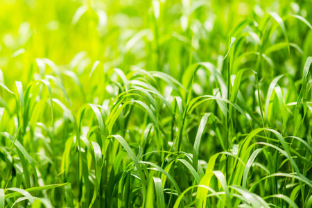 Bright green grass on spring field in sunny day. Sunshine in summer grass. Texture background Фото со стока