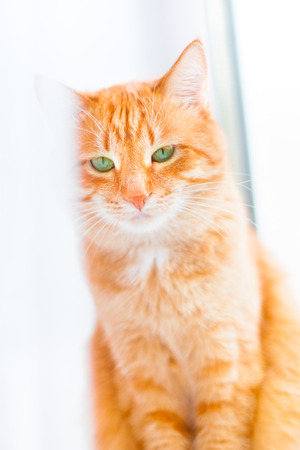 Ginger shorthair cat with sad green eyes sitting on window behind white curtain. Red cat with bright green eyes