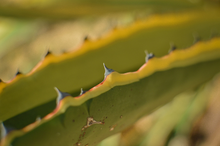 thorn bush: Spiky leaves thorn bush cactus, green part closeup background