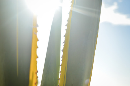 pointy hat: Sunset over agave field for tequila production, green leaf background