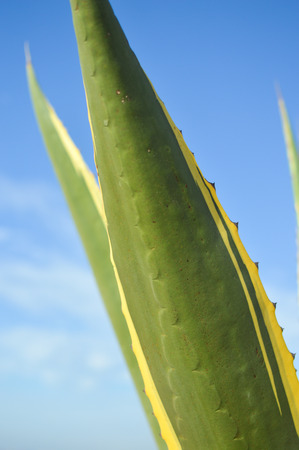 sisal: Closeup of Sisal or Agave sisalana green leaves plant over blue sky background copy space