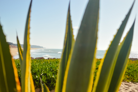 sisal: Beautiful view on ocean through Sisal or Agave sisalana green leaves copy space background