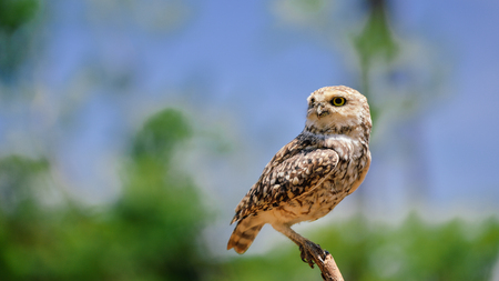 burrowing: Closeup view on Burrowing Owl Athene Cunicularia standing, outdoors background Stock Photo