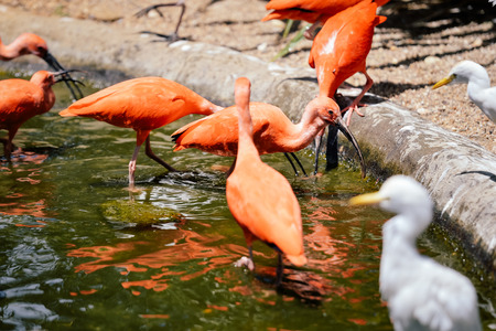 Scarlet ibis - Eudocimus ruber group, close up view sunny outdoors background Stock Photo