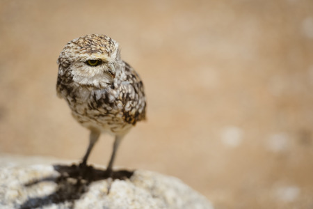head stones: Closeup view on Burrowing Owl Athene Cunicularia standing, outdoors background Stock Photo