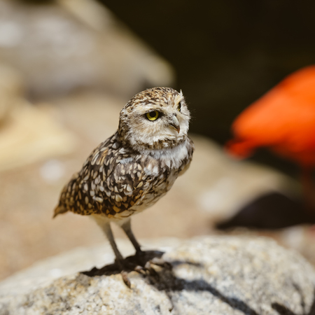Closeup view on Burrowing Owl Athene Cunicularia standing, outdoors background Stock Photo