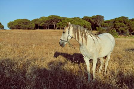 yegua: hermoso caballo blanco en el campo, al aire libre fondo soleado
