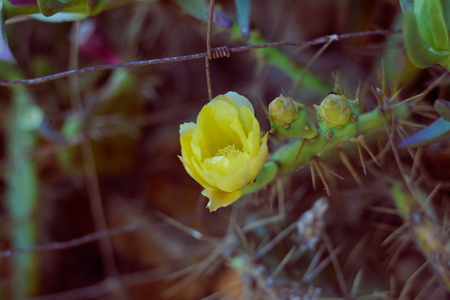 Closeup of blooming cactus flower, sunny outdoors background