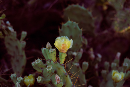 microdasys: Closeup of blooming cactus flower, sunny outdoors background