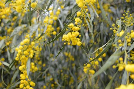 Closeup on acacia yellow flower natural outdoors garden park background Stock Photo