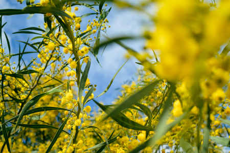 Closeup on acacia yellow flower natural outdoors garden park background Stock Photo