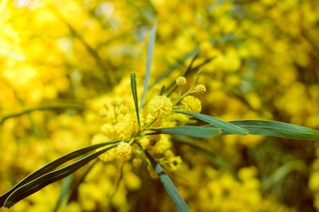Closeup image of beautiful mimosa tree natural blooming season flowers, decorative space
