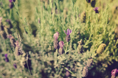 lavendin: Natural lavender bushes closeup at sunset outdoors background