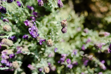 Natural lavender bushes closeup at sunset outdoors background