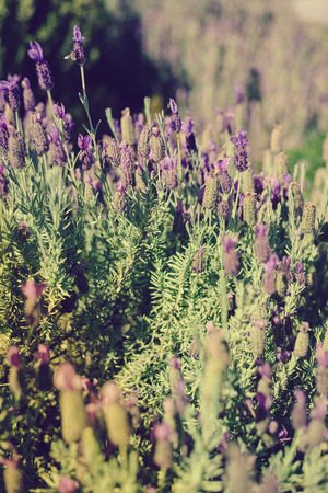 lavendin: Closeup photography of lavender bushes on sunny outdoors background. Stock Photo