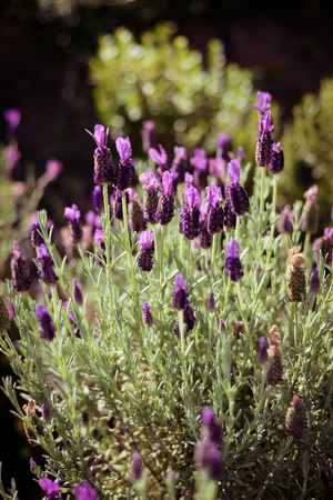 Natural lavender blossoms outdoor background