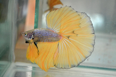 betta: Betta fish, Halfmoon  Stock Photo