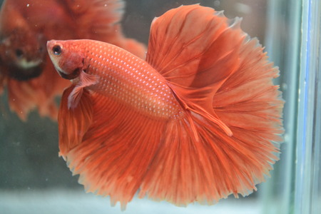 betta: Betta fish, Halfmoon
