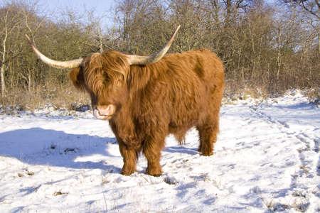 highlander: Highlander scozzese nella neve leccare il suo naso Archivio Fotografico