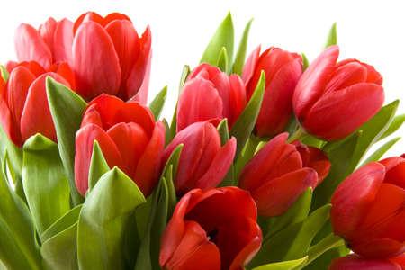 flores de cumpleaños: Red tulipanes holandesa frescas sobre un fondo blanco  Foto de archivo