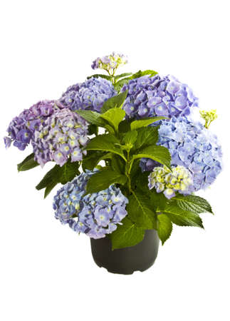 Beautiful blue purple Hortensia in a black pot isolated over white photo