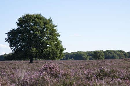 veluwe: Tree on the veluwe in the netherlands