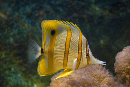 Tropical fish with yellow stripes under wather photo