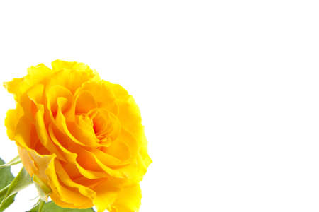 mariage: Yellow rose in corner isolated over white