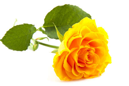 Lovely yellow rose isolated on a white background photo