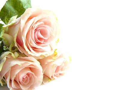 Drie roze rozen in de hoek geïsoleerd over Wit