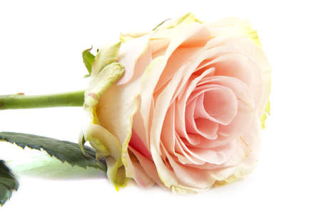 mariage: Single pink rose isolated on a white background Stock Photo