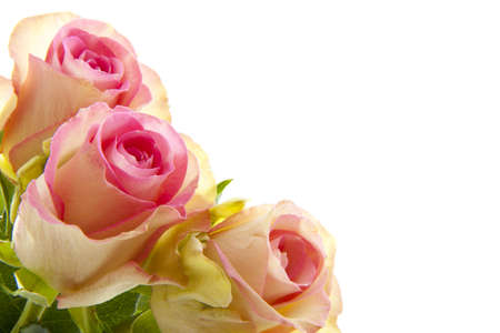 Three beautiful pink roses isolated over white