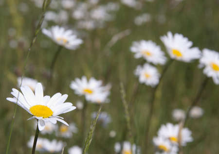 daisys: Beautiful daisys on a green summer meadow
