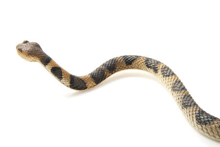 endangered species: Creepy crawling brown snake with black spots on a white background