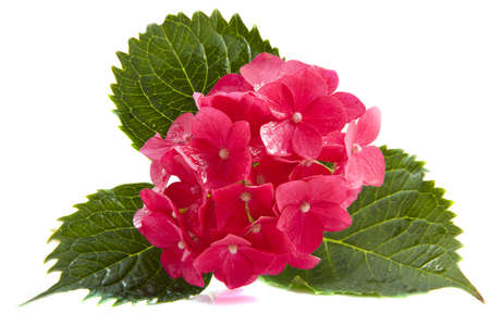 Beatiful pink hortensia isolated on a white background Imagens