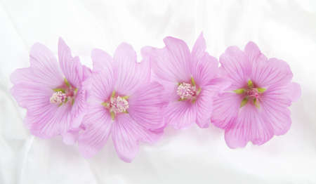 sepals: Four pink lavateras in a row on a satin background