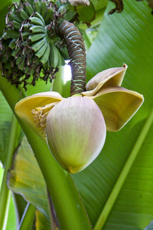 Banana flower close-up for background use photo