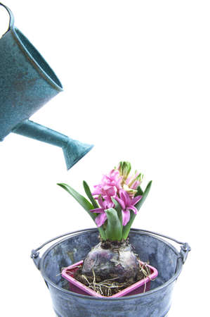 Hyacint in a zinc bucket with watering can over white Stock Photo - 11534799
