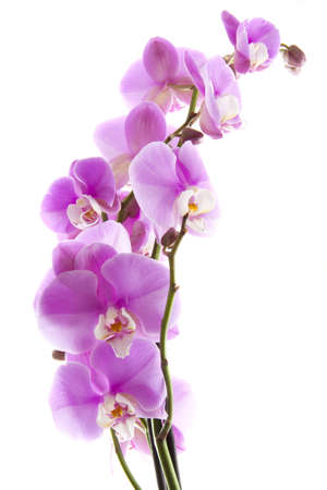 Close-up of a beatiful pink orchid on white