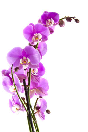 Pink orchid close up for background use Stock Photo - 11864459
