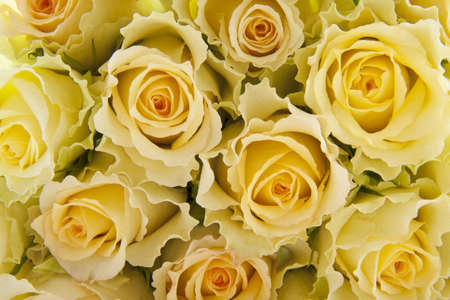 Yellow roses close up for background use