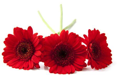 Drei rote Gerbera ist vor über weiße Standard-Bild - 11864490