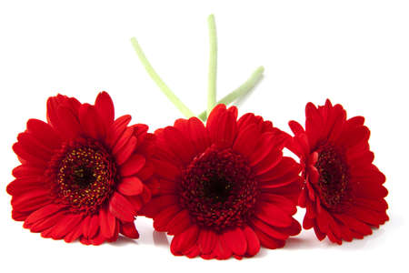 Three red gerberas in front over white photo