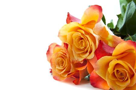 rosas naranjas: Tres rosas frescas de colores para el uso de fondo