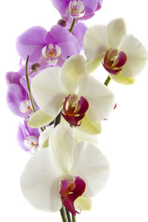 Colorful purple and white orchid on white background Stock Photo - 12474359