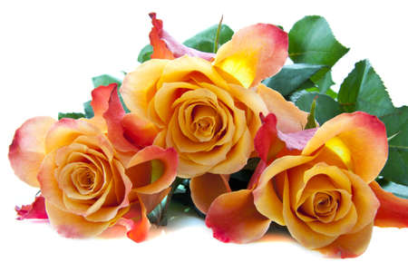 bundle: Three colorful lovely roses close up for background use