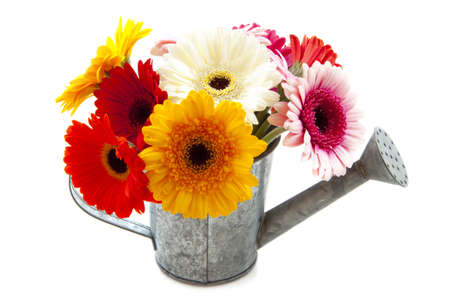 Watering can filled with gerbera isolated over white photo